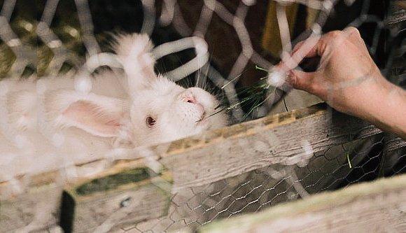 Tjockt-Angora-Rabbits
